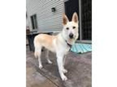 Adopt Donatello a White German Shepherd Dog / Mixed dog in COON VALLEY