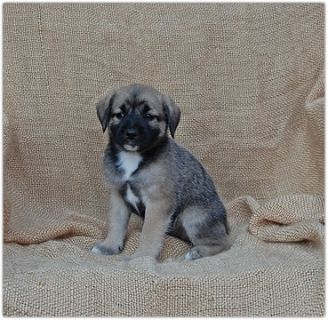 Pom-A-Poo-Border Collie Mix PUPPY FOR SALE ADN-88243 - Adorable Border Collie Mix Puppies