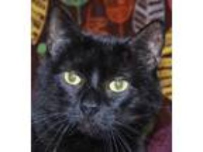 Adopt Luna a All Black Domestic Mediumhair / Domestic Shorthair / Mixed cat in