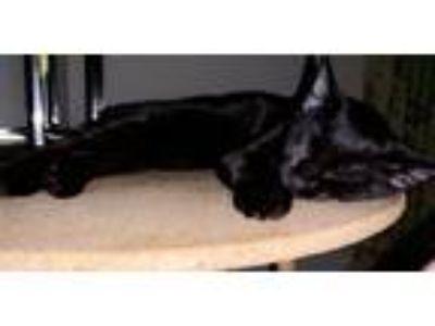 Adopt Lemon a All Black Bombay cat in Helena, AL (25490153)