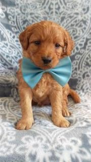 Goldendoodle PUPPY FOR SALE ADN-75118 - F2b Clyde