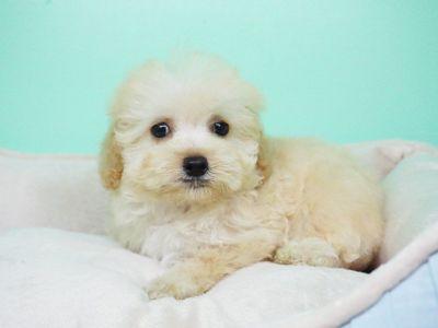 Maltipoo Puppy – Female- Hillary ($1,399)