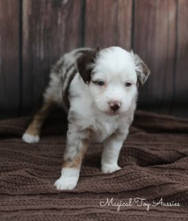 Miniature Australian Shepherd PUPPY FOR SALE ADN-96349 - Toy Australian Shepherd Puppy