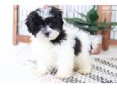 Simba- Snuggly Little Black and White Male Shih-Po