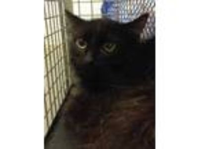 Adopt Toothless a All Black Domestic Mediumhair / Domestic Shorthair / Mixed cat
