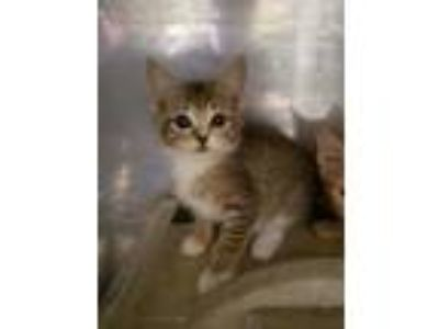 Adopt Paddle Boat a Brown or Chocolate Domestic Shorthair / Domestic Shorthair /