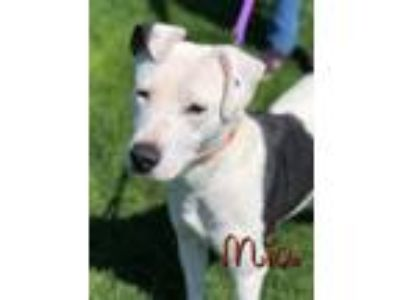 Adopt Mia a Border Collie, Labrador Retriever
