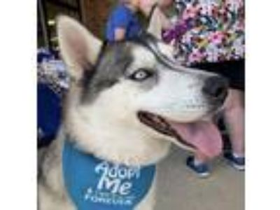 Adopt Ceasar a Husky / Mixed dog in Crystal Lake, IL (22548044)