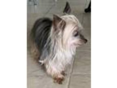 Adopt Mandy a Yorkshire Terrier