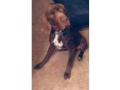 Adopt Tank a German Shorthaired Pointer