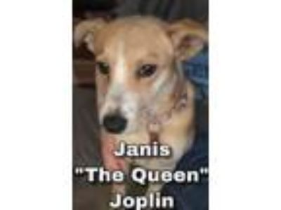 Adopt Janis `The Queen` Joplin a Cardigan Welsh Corgi, Mixed Breed