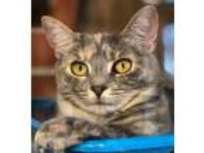 Adopt Louise a Dilute Calico, Russian Blue