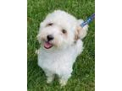 Adopt Pepper in PA a Havanese