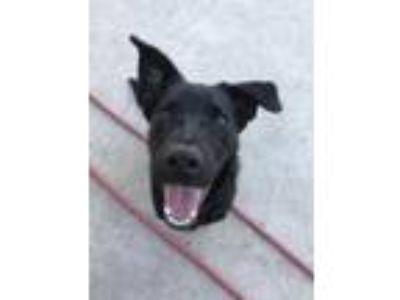 Adopt Harper a Black Labrador Retriever / Shepherd (Unknown Type) / Mixed dog in