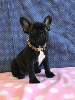 French Bulldog PUPPY FOR SALE ADN-105332 - Tina The Cutest AKC French Bulldog