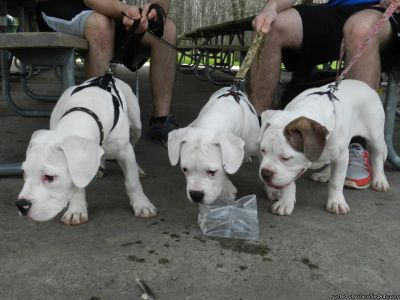 American Bulldog Puppies for Sale.