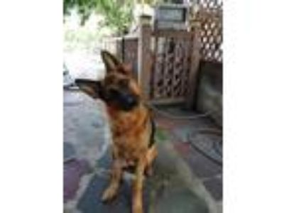 Adopt Vida a Black - with Tan, Yellow or Fawn German Shepherd Dog / Mixed dog in