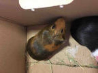 Adopt CORNELIUS a Brown or Chocolate Guinea Pig / Mixed small animal in Plano