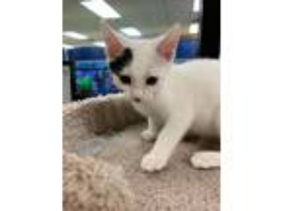 Adopt Stormy a Black & White or Tuxedo Domestic Shorthair (short coat) cat in