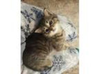 Adopt Fritzie a Brown or Chocolate Domestic Shorthair / Domestic Shorthair /