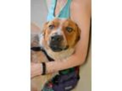 Adopt Lucas a Red/Golden/Orange/Chestnut - with White Australian Cattle Dog /