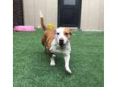 Adopt Buttercup a Basset Hound, Mixed Breed