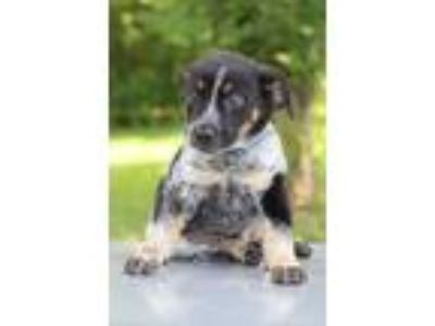 Adopt Ramone a Tricolor (Tan/Brown & Black & White) Hound (Unknown Type) / Mixed