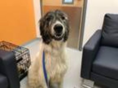 Adopt Gunnar a Irish Wolfhound, Great Pyrenees