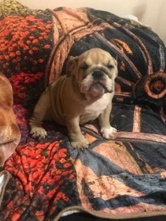 English Bulldog PUPPY FOR SALE ADN-94332 - Winnie