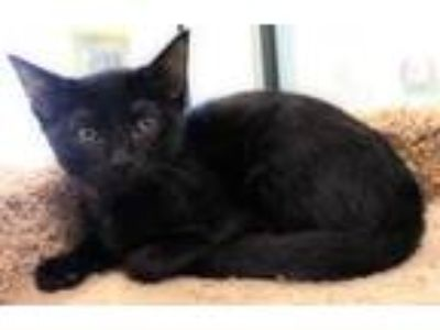 Adopt Bottle Cap a All Black Domestic Shorthair / Domestic Shorthair / Mixed cat