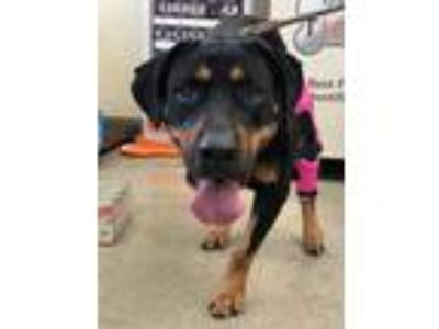 Adopt Kara a Black - with Brown, Red, Golden, Orange or Chestnut Rottweiler /