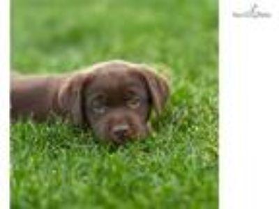 Lab Puppies - Cheyenne Classifieds - Claz org