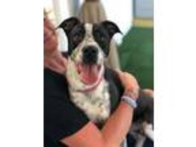 Adopt Bron a Black - with White Pointer / Border Collie / Mixed dog in Ft.