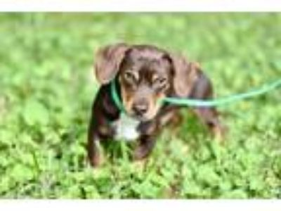 Adopt PUPPY BEE BOP BROWN a Dachshund / Mixed dog in Spring Valley