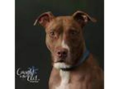 Adopt Giggles a Pit Bull Terrier