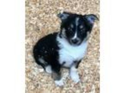 Adopt GOJI a Black - with White Border Collie / Husky / Mixed dog in Carson