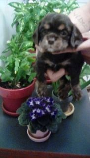 Cockalier PUPPY FOR SALE ADN-74530 - Chocolate and tan Cavalier