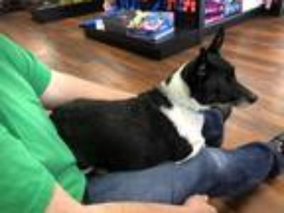 Adopt Penelope a Black - with White Jack Russell Terrier / Rat Terrier / Mixed