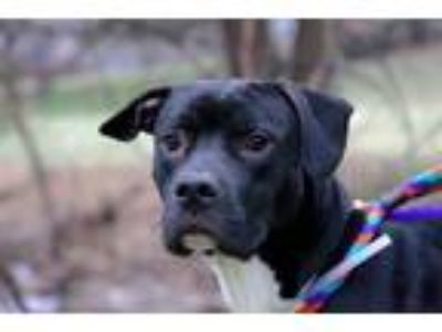 Adopt Jake a Pit Bull Terrier