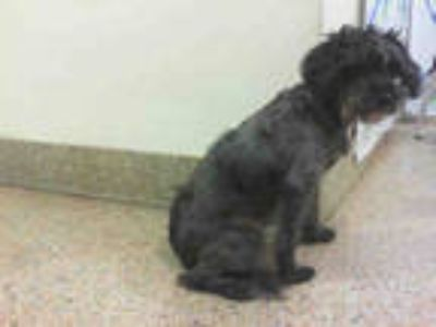 Adopt BLACKY a Gray/Blue/Silver/Salt & Pepper Poodle (Miniature) / Mixed dog in