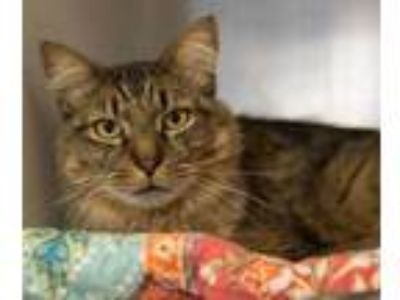Adopt Angus a Tan or Fawn Domestic Longhair / Domestic Shorthair / Mixed cat in