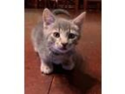Adopt Suzie a Domestic Short Hair