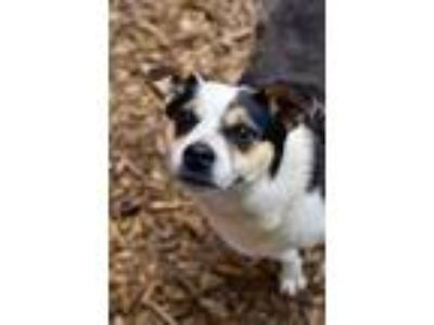 Adopt Freedom a Rat Terrier, Beagle