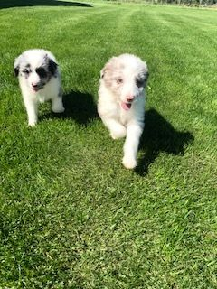Aussie-Poo PUPPY FOR SALE ADN-99485 - AussiePoo pups