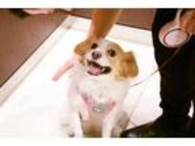 Adopt Perry a White - with Brown or Chocolate Cavalier King Charles Spaniel /