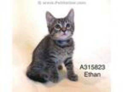 Adopt TUCKER a Brown Tabby Domestic Shorthair / Mixed (short coat) cat in