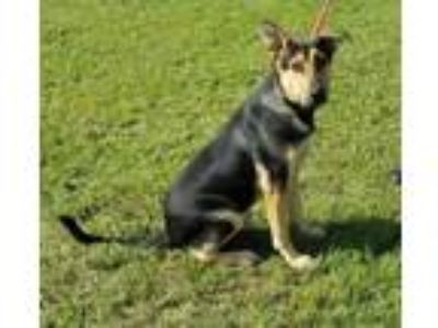 Adopt SONNY a Black Shepherd (Unknown Type) / Mixed dog in Clinton