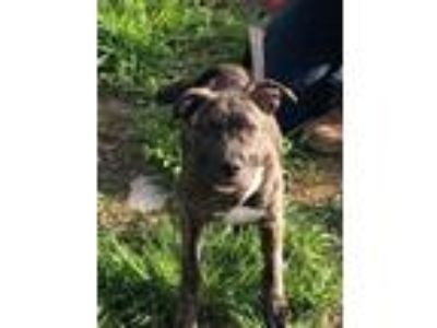 Adopt Diego a Pit Bull Terrier