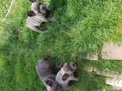 French Bulldog Puppies NJ
