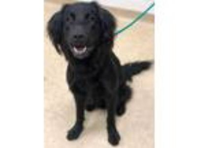 Adopt Archer a Black Flat-Coated Retriever / Mixed dog in Caldwell